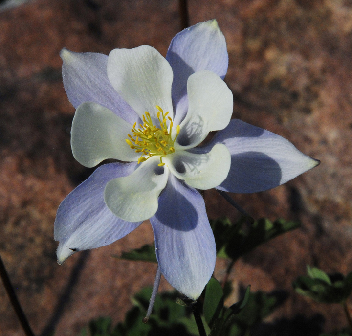 A flower with purple tinted outer pedals and pure white inner pedals that lead into a small funnel shape with long yellow stamens in the center.